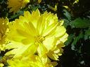 Photos_fleurs_de_jardin_ou_interieur_03_-_2002-0928_-_665F_chrysantheme.JPG