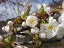 Photos_fleurs_de_jardin_ou_interieur_03_-_2004-04-03_-_Cerisier-658F.JPG
