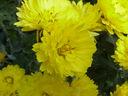 Photos_fleurs_de_jardin_ou_interieur_04_-_2004-10-10_-_537F_chrysantheme.JPG
