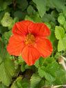 Photos_fleurs_de_jardin_ou_interieur_04_-_2005-06-06_-_2017_capucine.jpg