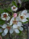 Photos_fleurs_de_jardin_ou_interieur_04_-_2006-04-15_-_9528_cerisier.jpg