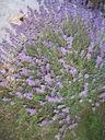 Photos_fleurs_de_jardin_ou_interieur_05_-_2006-08-20_-_6666_lavande_sauvage_col_des_champs_06_.jpg