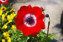 Photos_fleurs_de_jardin_ou_interieur_06_-_2010-04-16_-_196_anemone_bleu_blanc_rouge.jpg