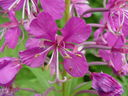 Photos_fleurs_sauvages_01_-_2000-07-19_-_173S-epilobe.JPG