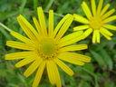 Photos_fleurs_sauvages_01_-_2000-07-24_-_302F-inule.JPG