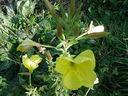 Photos_fleurs_sauvages_01_-_2000-10-08_-_588F-onagre.JPG
