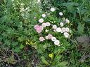Photos_fleurs_sauvages_01_-_2001-03-14_-_paquerettes-883S.JPG