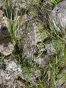 Photos_fleurs_sauvages_01_-_2001-05-26_-_007f_Viperine.jpg