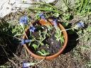 Photos_fleurs_sauvages_01_-_2001-05-26_-_853f_Gentiane_renflee.jpg