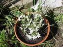 Photos_fleurs_sauvages_01_-_2001-05-26_-_854f_Dame_de_onze_heure.jpg