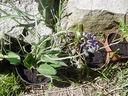 Photos_fleurs_sauvages_01_-_2001-05-26_-_861f_Sauge_des_pres.jpg