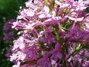 Photos_fleurs_sauvages_01_-_2001-05-26_-_890f_Centhrante_rouge.jpg
