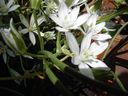 Photos_fleurs_sauvages_01_-_2001-05-26_-_dame-de-onze-heure-885f.jpg
