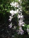 Photos_fleurs_sauvages_01_-_2001-06-12_-_pied-d-alouette-251f.jpg