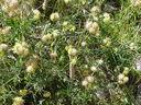 Photos_fleurs_sauvages_02_-_2001-08-07_-_009S_Anthyllis_vulneraria_Anthyllis_vulneraire.JPG