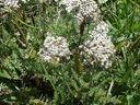 Photos_fleurs_sauvages_02_-_2001-08-07_-_015S_Achillea_millefolium_Achillee_millefeuille.JPG