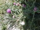 Photos_fleurs_sauvages_02_-_2001-08-07_-_016S_Chardon_a_tige_nue.JPG