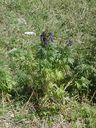 Photos_fleurs_sauvages_02_-_2001-08-07_-_043S_Aconitum_napellus_Aconit_napel.JPG