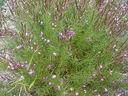 Photos_fleurs_sauvages_02_-_2001-08-25_-_299S_Epilobe.JPG
