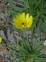 Photos_fleurs_sauvages_02_-_2001-08-25_-_305S_Crepis.JPG