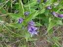 Photos_fleurs_sauvages_02_-_2001-08-25_-_314S_Gentiane_a_feuille_d_asclepiade.JPG