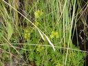 Photos_fleurs_sauvages_02_-_2001-08-25_-_321S_Saxifrage_jaune_des_montagnes_Saxifraga_aizoides.JPG
