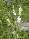 Photos_fleurs_sauvages_02_-_2001-08-25_-_323S_Melilot_blanc.JPG