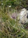 Photos_fleurs_sauvages_02_-_2001-08-25_-_341S_Ail_de_siberie.JPG