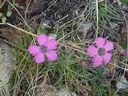 Photos_fleurs_sauvages_02_-_2001-08-25_-_345S_Oeillet_neglige.JPG