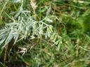 Photos_fleurs_sauvages_02_-_2001-08-25_-_353S_Thesium_des_Alpes_.JPG