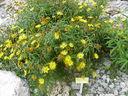 Photos_fleurs_sauvages_02_-_2001-08-25_-_377S_Buphthalmum_salicifolium.JPG