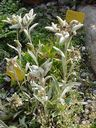 Photos_fleurs_sauvages_02_-_2001-08-25_-_392S_Leontopodium_alpinum.JPG