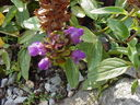 Photos_fleurs_sauvages_02_-_2001-08-25_-_394S_Prunella_grandiflora.JPG