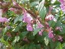 Photos_fleurs_sauvages_02_-_2001-08-25_-_397S_Teucrium_lucidum.JPG