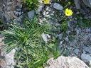 Photos_fleurs_sauvages_02_-_2001-08-25_-_401S_Hieracium_staticifolium_Eperviere_a_feuille_de_statice.JPG