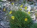 Photos_fleurs_sauvages_02_-_2001-08-25_-_403S_Papaver_rhaeticum.JPG
