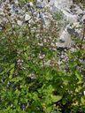Photos_fleurs_sauvages_02_-_2001-08-25_-_405S_Origanum_vulgare_Origan_commun.JPG