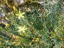 Photos_fleurs_sauvages_02_-_2001-08-25_-_406S_Hypericum_choris.JPG