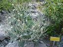 Photos_fleurs_sauvages_02_-_2001-08-25_-_407S_Hieracium_tomentosum.JPG