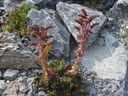 Photos_fleurs_sauvages_02_-_2001-08-25_-_408S_Sempervivum_tectorum_Joubarbe_des_toits.JPG
