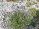 Photos_fleurs_sauvages_02_-_2001-08-25_-_409S_Lavendula_angustifolia.JPG
