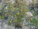 Photos_fleurs_sauvages_02_-_2001-08-25_-_415S_Anthemis.JPG