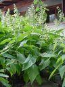 Photos_fleurs_sauvages_02_-_2001-08-25_-_427S_Sauge_glutineuse.JPG