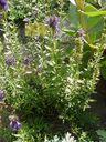 Photos_fleurs_sauvages_02_-_2001-08-25_-_436S_Hysope_officinale.JPG