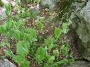 Photos_fleurs_sauvages_02_-_2001-08-25_-_439S_Veronica_urticifolia.JPG