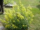 Photos_fleurs_sauvages_03_-_2001-08-25_-_453S_Verge_d_or.JPG