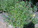 Photos_fleurs_sauvages_03_-_2001-08-25_-_469S_Calamintha_nepeta.JPG