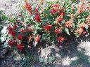 Photos_fleurs_sauvages_03_-_2001-08-28_-_480S-sauges-.JPG