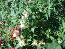 Photos_fleurs_sauvages_03_-_2001-08-28_-_483S-muflier.JPG