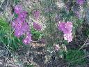 Photos_fleurs_sauvages_03_-_2001-08-28_-_509S-pieds-d-alouettes.JPG